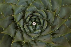 Aloe lancers gap wedding